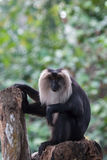 Lion-tailed Macaque & x28;Macaca silenus& x29;. In Singapore zoo Royalty Free Stock Image