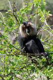 Lion-tailed macaque Royalty Free Stock Image