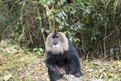 The lion tailed macaque Royalty Free Stock Image