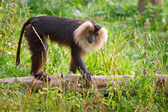 Lion tailed macaque monkey. In wildlife park Royalty Free Stock Photos