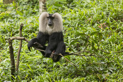 Lion-tailed macaque Royalty Free Stock Images