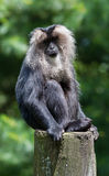 Lion-tailed macaque portrait Stock Photos