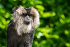 Lion-tailed macaque portrait Stock Images