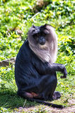 Lion-Tailed Macaque Stock Image
