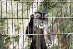 Lion Tailed Macaque stock photo