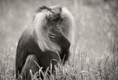 Lion Tailed Macaque Stock Photos