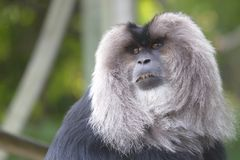 Lion-tailed Macaque in Toronto ZOO Stock Image