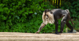 Lion-tailed macaque walking Stock Photo