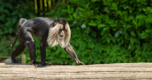 Lion-tailed macaque walking. Lion-tailed macaque. Its also known as wanderoo, bartaffe, beard ape and macaca silenus royalty free stock photo