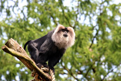 Lion-tailed Macaque, watching from a tree stump Stock Image