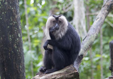Lion tailed macaques. Have a very unusual appearance: they have a mane and a small brush on the end of the tail (like a lion). Monkey this is very rare, it is stock images