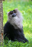 Lion tailed monkey Royalty Free Stock Photography