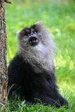 Lion tailed monkey Stock Images
