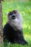 Lion tailed monkey Stock Images