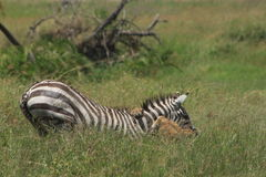 Lion take-down. Lion takes down a Zebra in Serengeti National Park Stock Photo