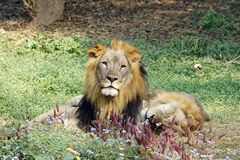 A lion is taking cat-nap while other staring at camera. Royalty Free Stock Image
