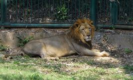 A lion taking rest in the zoo. The lion is a big cat belonging to the Panthera genus and family Felidae. The lions are broadly categorized as two types. One of Royalty Free Stock Photography