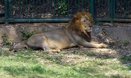 A lion taking rest in the zoo. The lion is a big cat belonging to the Panthera genus and family Felidae. The lions are broadly categorized as two types. One of Royalty Free Stock Image