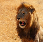Lion Talking. A Lion comicly opening its mouth and appearing to talk stock image