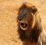 Lion Talking Stock Image