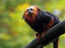 Lion Tamarin imagen de archivo libre de regalías