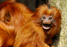 Lion tamarin Royalty Free Stock Images