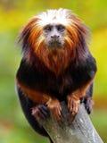 Lion Tamarin. A lion Tamarin on a branch Stock Image