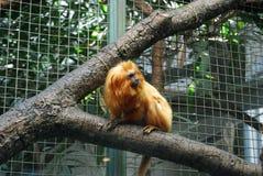 Lion Tamarin d'or mis en cage image libre de droits