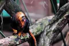 Lion Tamarin dirigé d'or mangeant une amande Photos libres de droits