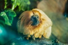 Golden tamarin sitting on a wooden branch among the trees at the zoological park stock photo