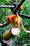 Golden Lion Tamarin playing in the trees Stock Photos