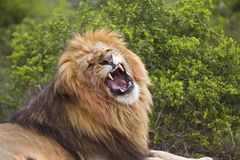 Lion Teeth Royalty Free Stock Photo