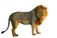 Lion tenant la vue de côté photo stock