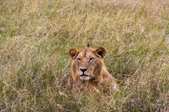 Lion in the thick grass. Masai Mara Royalty Free Stock Images