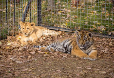 Lion and Tiger cub Royalty Free Stock Images