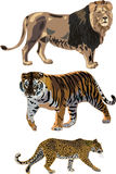 Lion, tiger, leopard. The three most popular feline carnivores - lion, tiger, leopard Royalty Free Stock Photo