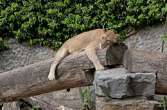 Lion. Tiger, sleeping on a fallen tree Stock Photography