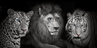 Lion tigers leopad Royalty Free Stock Images