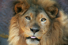 Lion with tongue Royalty Free Stock Image