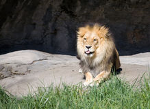 Lion with Tongue Out Royalty Free Stock Photos