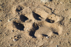 Lion track Stock Image