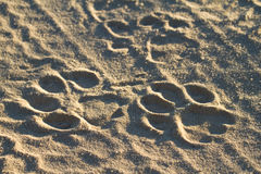 Lion tracks. A set of fresh lion tracks in the road royalty free stock photo