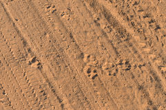 Lion tracks background Royalty Free Stock Photo