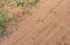 Lion tracks in the sand. Showing direction, age and number of lions stock image