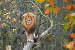 Lion in tree. A unique picture of a male lion standing on a tree in autumn Stock Image