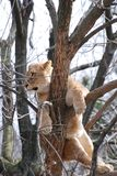 Lion in tree Stock Photography