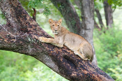 Lion in a tree Stock Photo