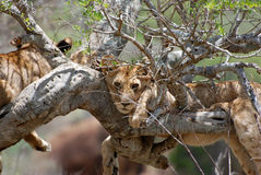 Lion on Tree. A Lion on Tree in Tsavo-West National Park Stock Image