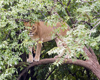 Lion in  a tree Stock Photography