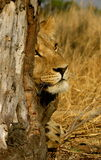 Lion in a tree. A young male african lion uses a tree for cover Royalty Free Stock Image